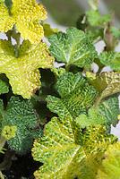 Rubus calycinoides 'Golden Quilt' = Rubus pentalobus 'Golden Quilt' Creeping Rasberry