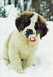 cuccioli, cani san bernardo, foto cani umoristiche, foto cuccioli simpatiche carine,<br /> puppies, dogs Saint Bernard, photo humorous dogs, puppies pictures cute funny,<br /> Welpen, Hunde Bernhardiner, Foto humorvoll Hunde, Bilder Welpen niedlich lustig,<br /> valpar, hundar Saint Bernard, foto humoristiska hundar, valpar bilder gullig rolig,<br /> 小狗,狗聖伯納,照片幽默的狗,小狗圖片可愛搞笑,<br /> 子犬が面白いかわいい絵、セントバーナード、写真ユーモラスな犬は犬、子犬,<br /> szczenięta, psy bernardyn, humorystyczne zdjęcia ps&oacute;w, zdjęcia szczeniąt słodkie śmieszne,<br /> щенки, собаки сенбернара, фото юмористические Собаки, щенки фотки мило смешно,<br /> cachorros, perros San Bernardo, fotos humor&iacute;sticas perros, cachorros im&aacute;genes linda divertida