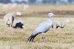 Blue Crane amongst sheep, Overberg, Western Cape, South Africa