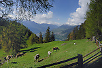 Cattle fence meandering along pasture, with snow capped mountains in the background. Kaunertal valley, Imst district, Tyrol, Austrian alps.