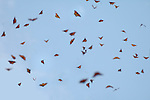 Monarch Butterfly, Danaus plexippus, El Chincua Nature Reserve, group flying, in flight against blue sky, migration, roosting site, lifecycle metamorphosis orange pattern wing.Mexico....