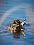 A mallard hen preening her feathers on the pond at the Lee Metcalf Wildlife Refuge in western Montana