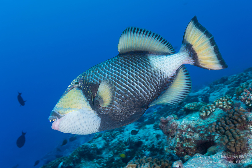 Kauehi Atoll, Tuamotu Archipelago, French Polynesia; a titan triggerfish swimming over the coral reef