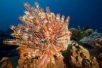 Crinoid (Sea Fan) feeding in the current, Yap Micronesia (Photo by Matt Considine - Images of Asia Collection)