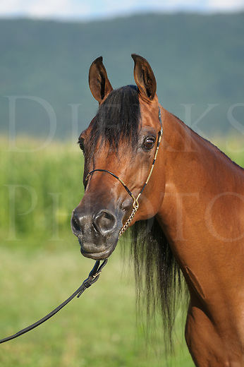 Horse in three quarter view  outdoors head shot, Arabian bay mare close up in open summer landscape.