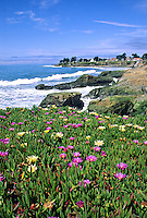 Flowering ice plant West Cliff Drive Santa Cruz California..