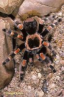 Spiders: Tarantula, Black Widow