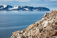 Dovkie on the clifss of Svalbard