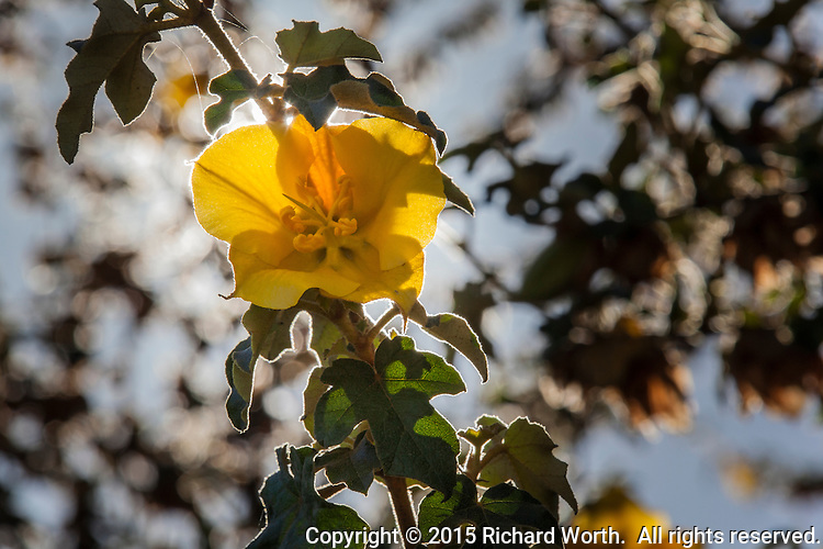 The yellow flower of a California fremontia or Flannel bush - Fremontodendron californicum, one of numerous native trees planted at Oyster Bay Regional Park by the East Bay Regional Park District.