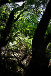Ferns in the forest, La Gomera, Canary Islands, Spain