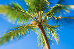 Coconut palm and blue sky, Island of Kauai, Hawaii USA