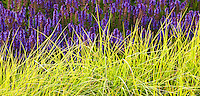 Bright green foliage of Autumn Moor Grass Sesleria autumnalis with purple blue flowers of Meadow Sage (Salvia x sylvestris) in Lurie Garden Millenium Park, Chicago