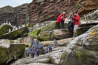 Tourists photograph a Rockhopper penguin colony. New Island, Falkland Islands, United Kingdom