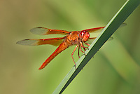 389310005 a wild flame skimmer libellula saturata perches on  a cattail reed along piru creek in los angeles couny california