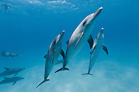 RW4921-D. Atlantic Spotted Dolphins (Stenella frontalis) seemingly posing for a picture.  Appearance varies greatly between different stocks throughout their range, and based on age. In general, a calf is born unspotted, and as it matures spots develop and increase. Bahamas, Atlantic Ocean.<br /> Photo Copyright &copy; Brandon Cole. All rights reserved worldwide.  www.brandoncole.com