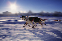 Sled dogs sprint at the start of the 1000 mile Yukon Quest dog sled race from Fairbanks to Whitehorse, Canada, Chena river, Fairbanks, Alaska