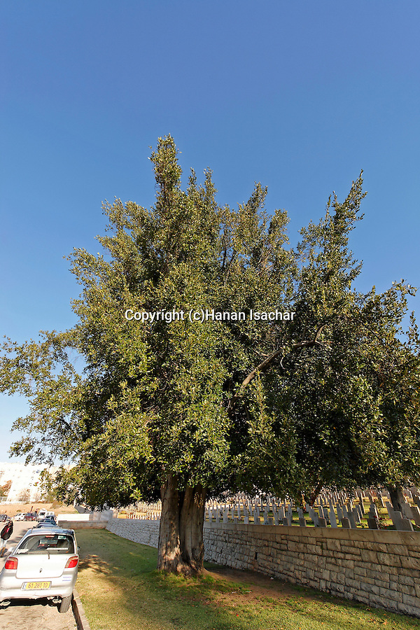 Israel, Jerusalem. Laurel tree (Laurus Nobilis) by the British War Cemetery on Mount Scopus