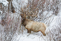 Bull elk in winter feeding in willows