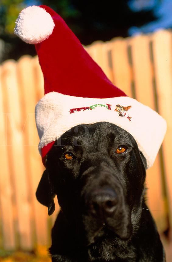 Humorous image of a Black Labrador dog wearing a Santa hat.