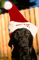 Humorous image of a Black Labrador dog wearing a Santa hat.