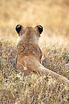 Lioness From Behind