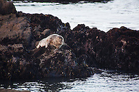 A harbor seal lies on the rocks off of Bean Hollow State Beach, CA