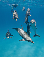 RW5078-Dr. Atlantic Spotted Dolphins (Stenella frontalis), resident pods of wild dolphins in the Bahamas off Bimini and Grand Bahama Island offer eco-tourists from around the world a superb encounter swimming with the playful marine mammals. Bahamas, Atlantic Ocean.<br /> Photo Copyright &copy; Brandon Cole. All rights reserved worldwide.  www.brandoncole.com