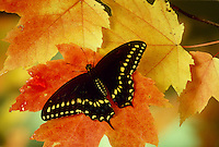 Swallowtail butterfly,Papilio polyxenes, a common butterfly in north America