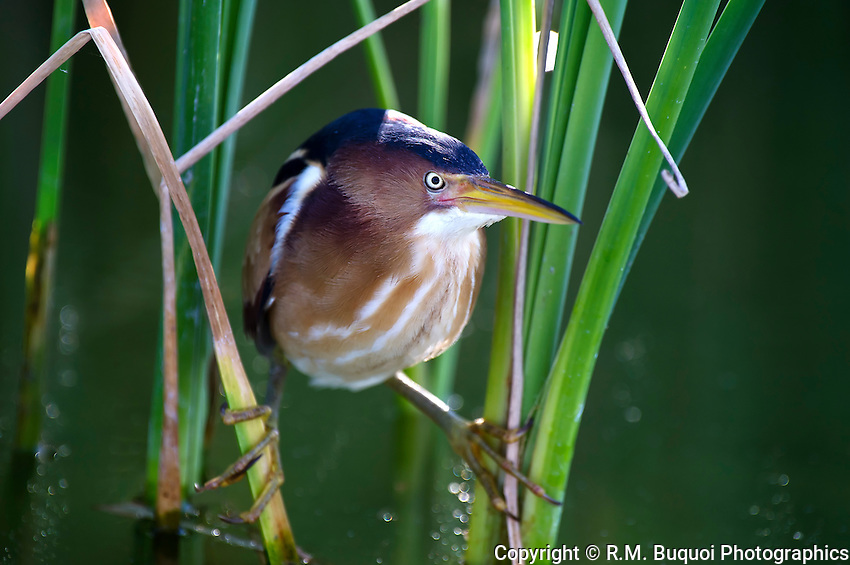 Least Bittern perched in cattails