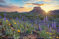 As first light spread across the Chisos Mountains in Big Bend National Park, bluebonnets soak in the warm sunlight. This view looks east and was taken on the western slope of these ancient mountains in Texas' most amazing national park.