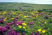 Alaska poppies and lousewort on the tundra of St. Paul Island of the Pribilof Islands, Bering Sea, Alaska