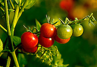 Cherry tomatoes ripening on the vine, varying in size and color from bright red to orange to green