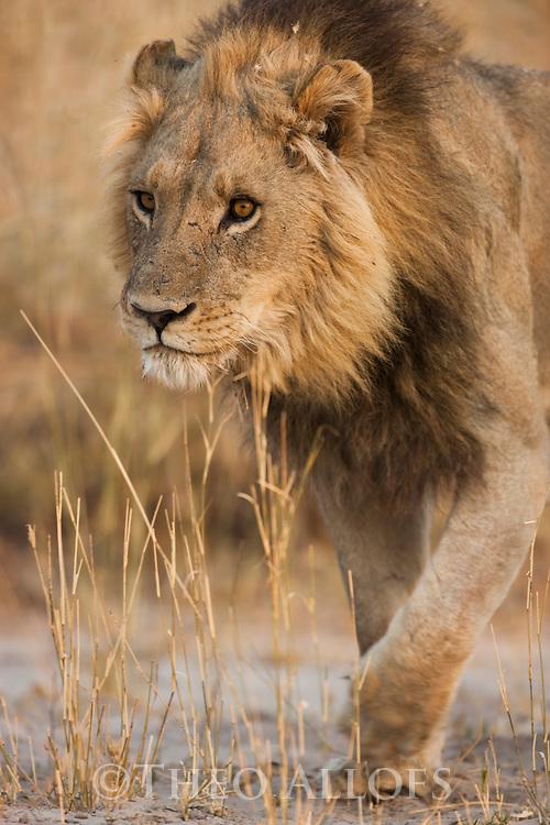 Botswana, Okavango Delta, Moremi Game Reserve,  male lion (Panthera leo) walking in dry grass savannah
