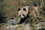 Giant Panda, Qinling Mountains, China