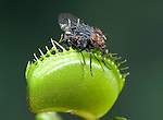 Venus Fly Trap, Dionaea muscipula, trap closed with insect, insectivorous, carnivorous, feeding, eating, killed, prey is caught by touching trigger hairs which close leaf.USA....