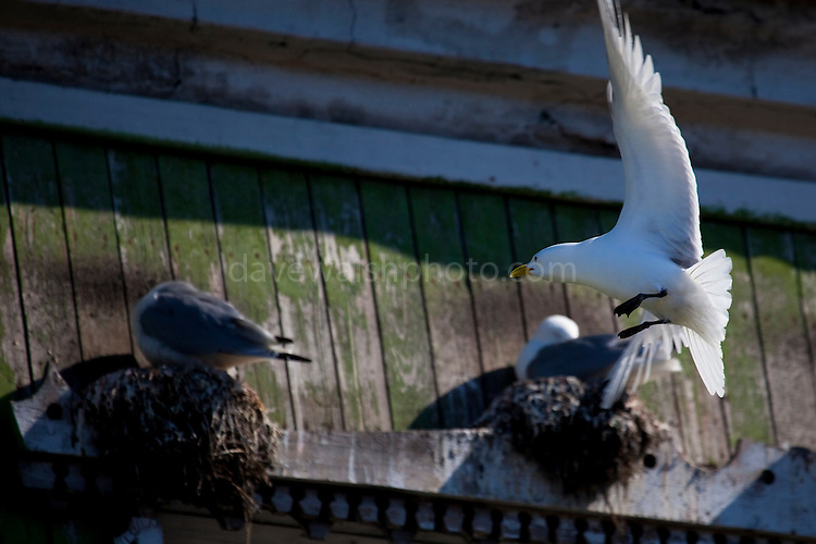 Black-legged Kittiwakes - a kind of gull, nesting on the window frames of dilapidated apartment buildings in Barentsburg, a Russian coal mining town in the Norwegian Archipelego of Svalbard. Once home to about 2000 miners and their families, less than 500 people now live here.