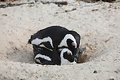 Black-footed Penguins mating (Spheniscus demersus), Simonstown, Cape Town, South Africa.
