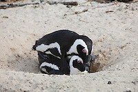 Black-footed Penguin (Spheniscus demersus) copulating.  Simonstown, Cape Town, Area South Africa.