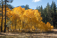 """Aspen at Fredrick's Meadow 1"" - Photograph of yellow aspen trees in the fall at Fredrick's Meadow near Fallen Leaf Lake, California."