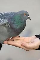 Poland, Krakow, Pigeon on woman's hand