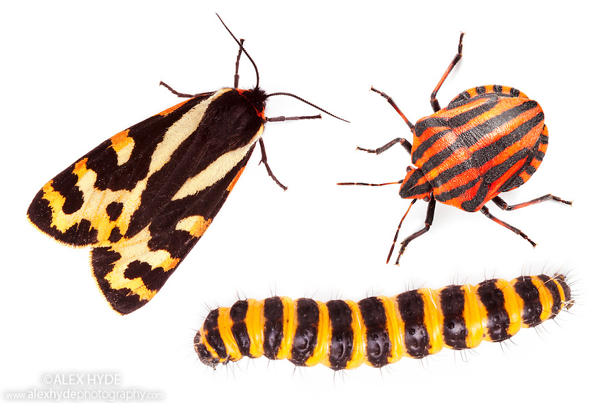 Aposematism describes the use of bright colouration and bold patterns to advertise that an organism is unpalatable or dangerous. In this example, all three insects are foul-tasting or toxic if eaten. All three are European insects: a Wood Tiger moth {Parasemia plantaginis plantains}, an Italian Striped-Bug / Minstrel Bug {Graphosoma lineatum} and a Cinnabar Moth {Tyria jacobaeae} caterpillar. Composite image.