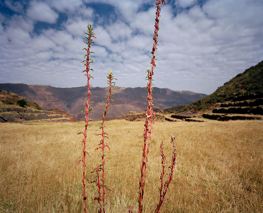 Peru, South America, southern hemisphere, Peruvian, Andean, Andes, plant, red stems, horizontal, no people, detail, mountainous, terraces, Inca, Incan, grass, sky, color, travel, tourism, hiking, trekking