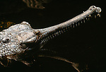 Profile of a gavial or gharial. (captive)
