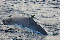 Fin Whale Balaenoptera physalus Surfacing at high speed Note tooth rakes on ventral side Spitsbergen Arctic Norway North Atlantic
