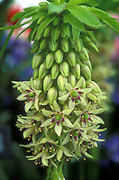 Eucomis bicolor Pineapple lily summer flowering bulb, exotic and dramatic flowers in green and red purple