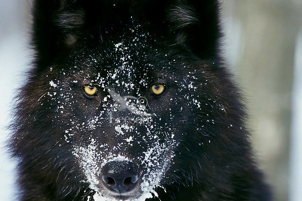 Black Gray Wolf in winter.  Upper Great Lakes region.  (Note: This is a crop of vertical image Mw1920.)