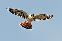 American Kestrel Hovering