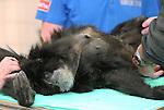 Foto: VidiPhoto<br /> <br /> ARNHEM - Siamang-vrouwtje Ebonie (1988) uit Burgers' Zoo in Arnhem krijgt woensdag pre-nataal onderzoek van dierenarts Henk Luten. De aap blijkt hoogzwanger en zal vermoedelijk een van de komende weken bevallen. Siamangs, de grootste gibbonsoort, hebben een draagtijd van zeven maanden en komen voor in Zuid-Oost Azi&euml;. In het wild worden ze bedreigd, maar in dierentuinen gaat het goed met de populatie.