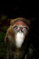 Female De Brazza's Monkey (Cercopithecus neglectus), Captivity.