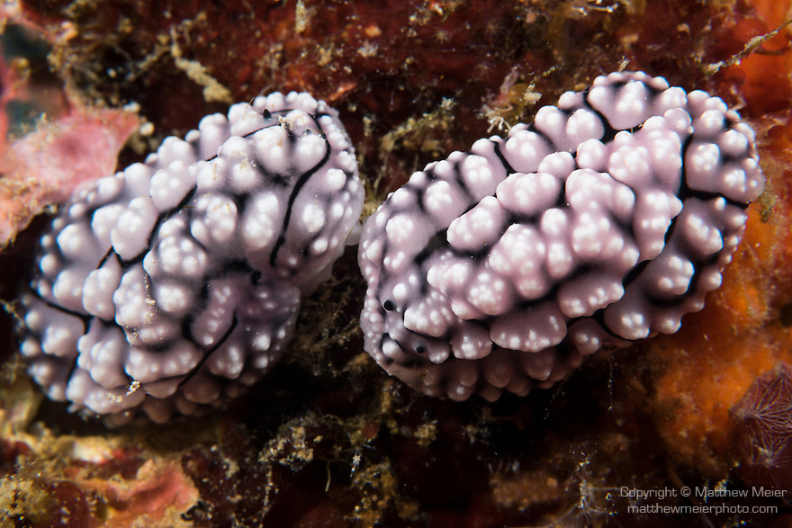 Anda, Bohol, Philippines; a pair of Dorid nudibranchs, Phyllidia sp., on the coral reef